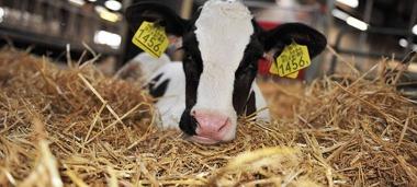 Come vengono allevati i vitelli in Italia?